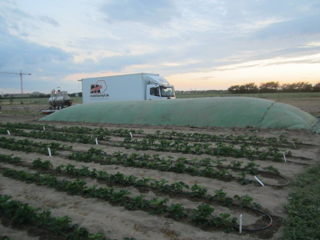 Foliendämpfung von Erdbeer-Beeten - Im Vordergrund bereits gedämpfte Fläche. Die Kultur wächst ohne Unkraut - mit starkem Wuchs