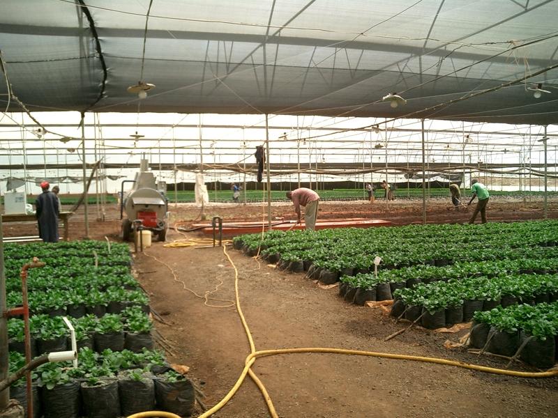Flächendämpfung in Kenia - Blumenzucht